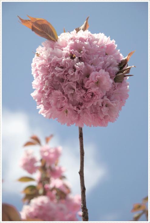 Blossum_1