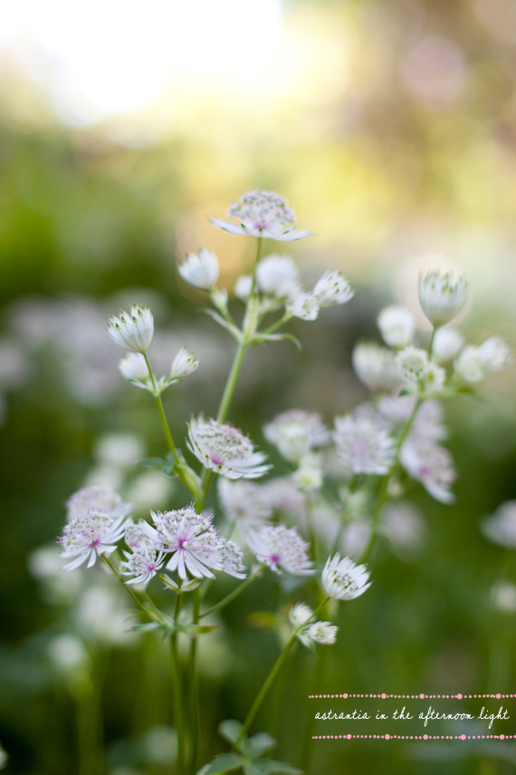 3astrantia-1text