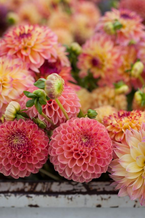 a creative mint: Dahlia Time at Floret Flower Farm